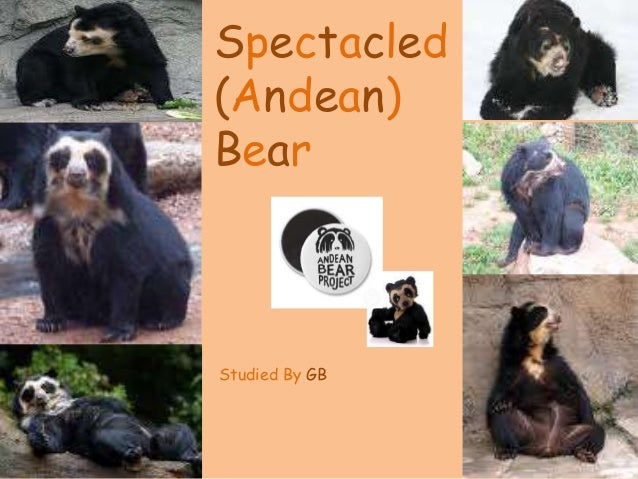 Spectacled (Andean) Bear Studied By GB