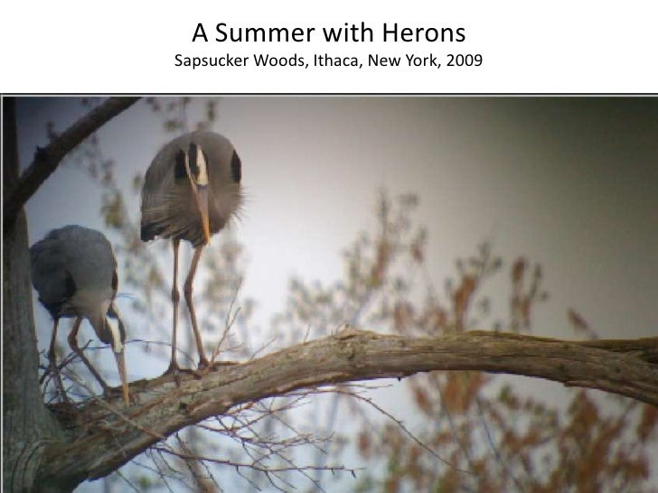 A Summer with Herons<br />Sapsucker Woods, Ithaca, New York, 2009<br />