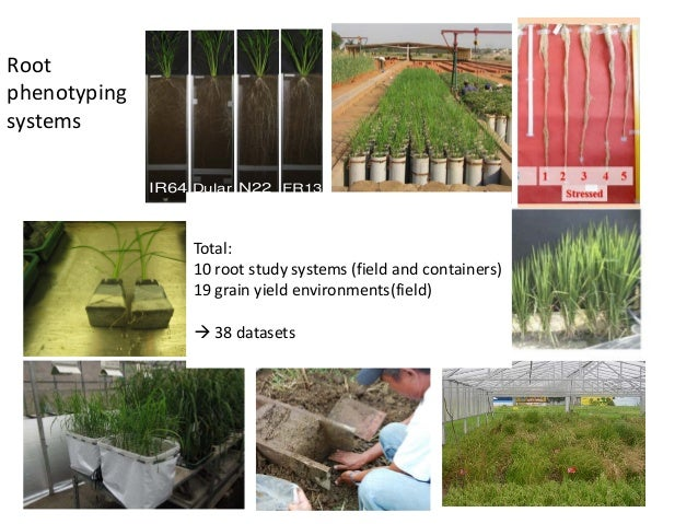 IR64 Dular N22 FR13 Root phenotyping systems Total: 10 root study systems (field and containers) 19 grain yield environmen...