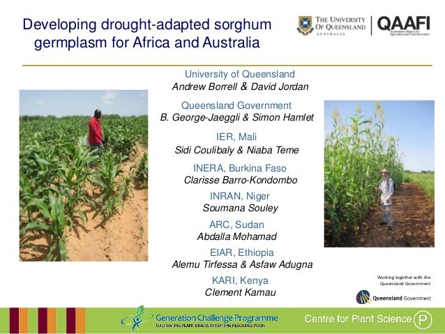 Working together with the Queensland Government Developing drought-adapted sorghum germplasm for Africa and Australia Univ...