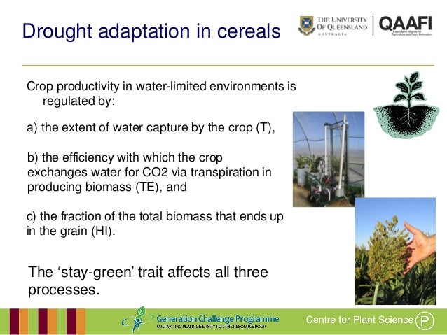 GRM 2013: Developing drought-adapted sorghum germplasm for Africa and Australia -- A Borrell Slide 3