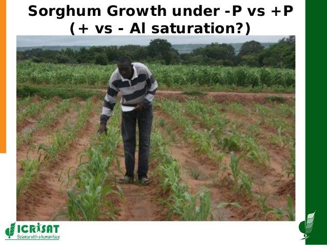 GRM2013: Establishing a molecular breeding program based on the aluminum tolerance gene AltSB and the P efficiency QTL Pup-1, for increasing sorghum production in Sub-Saharan Africa -- F Rattunde  Slide 3