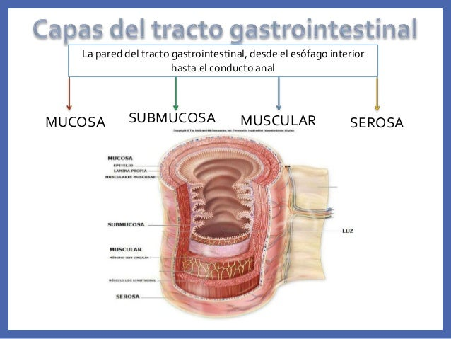 Exposicion de digestivo
