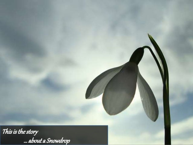 Thisis thestory … abouta Snowdrop
