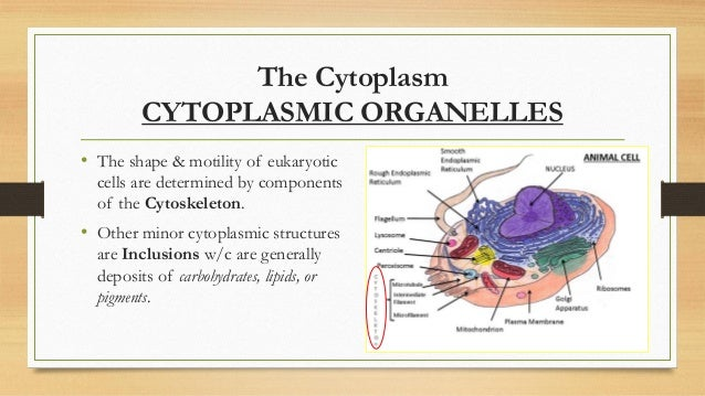 components of the cytoplasm