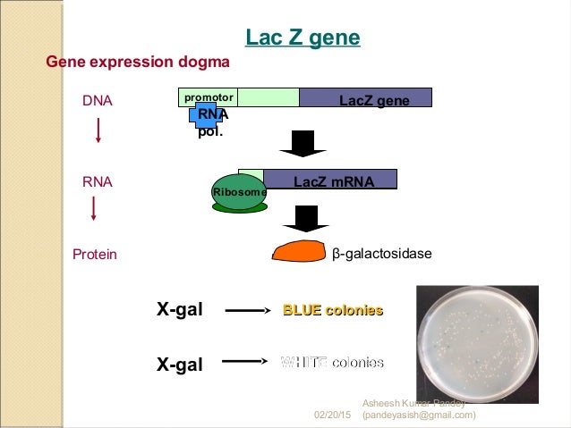 Gene Cloning  X Gal