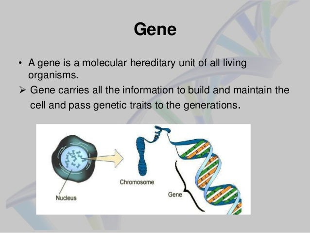 gene report 3 Determining acceptance of the 9:3:3:1  on one gene, which made it impossible for both phenotypes to be shown at the same time introduction.