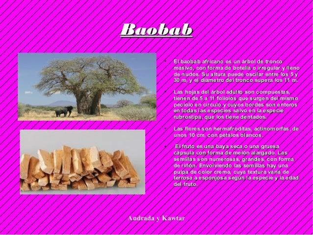 Andrada y Kawtar BaobabBaobab ● El baobab africano es un árbol de troncoEl baobab africano es un árbol de tronco masivo, c...