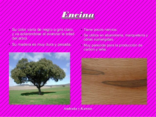 Andrada y Kawtar EncinaEncina ● Su color varía de negro a gris claro, y va aclarandose al avanzar la edad del arbol. ● Su ...