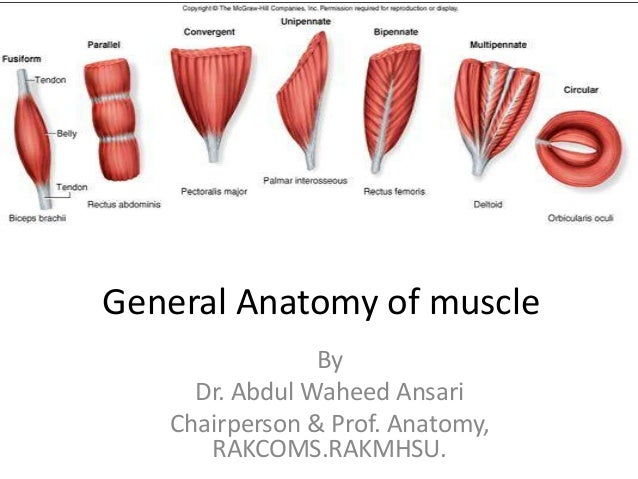 General anatomy of muscle