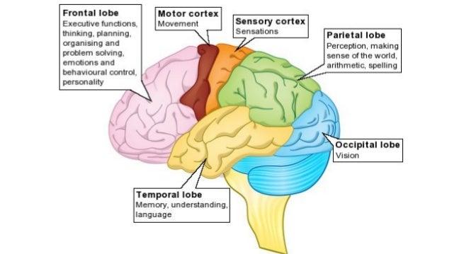 PPT - Neuron Structure PowerPoint Presentation - ID:5402152 |Cerebral Cortex Structure