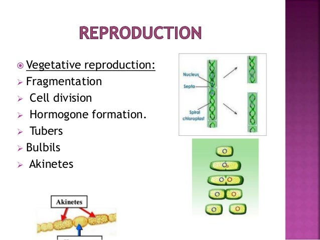 algae vegetative structure Chapter 15: algae structure and reproduction introduction algae (singular:alga) are eukaryotes (true-nucleus) an informal grouping of primitive, mainly aquatic plants that possesses chlorophyll a as their primary.