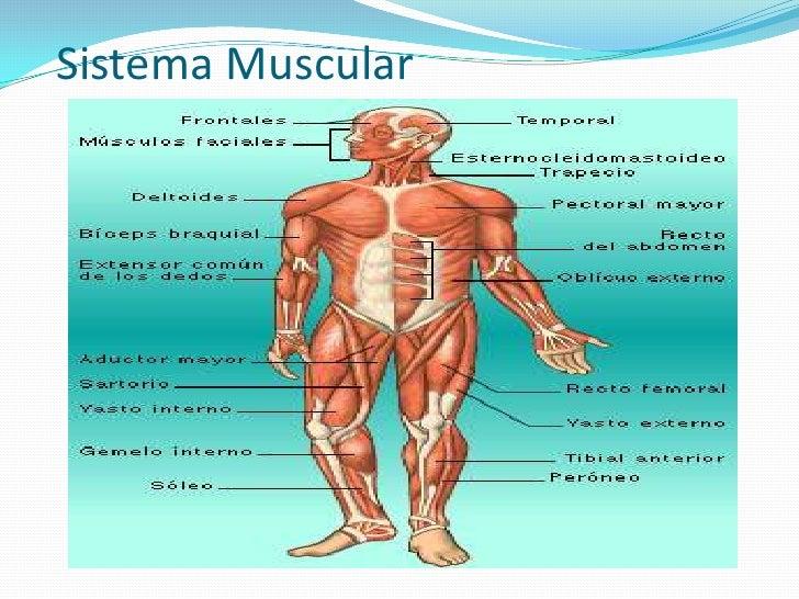 Único Lo Esencial De La Anatomía Y Fisiología Humana Molde ...