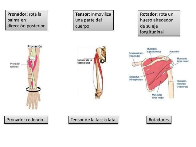 Generalidades de los músculos