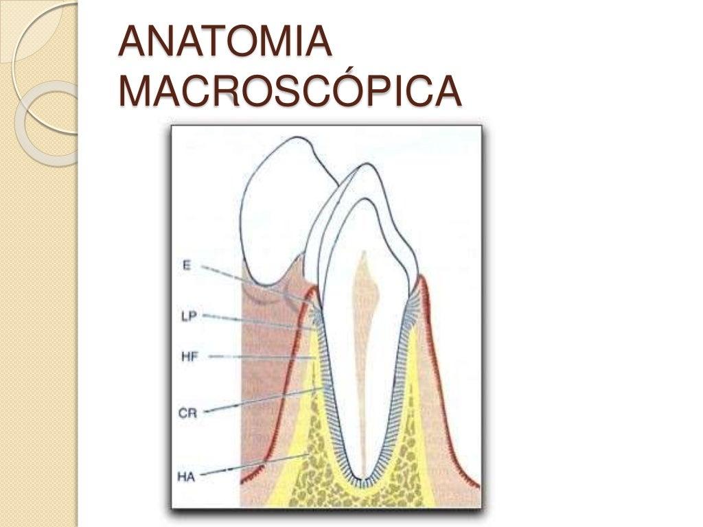 Dorable Ver Anatomía Macroscópica Regalo - Imágenes de Anatomía ...