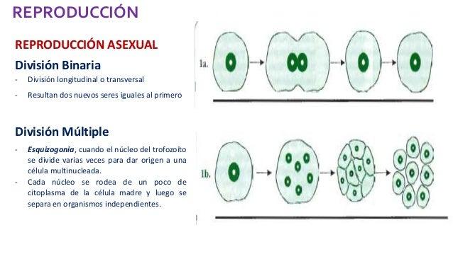 Reproduccion asexual en protistas consumidores