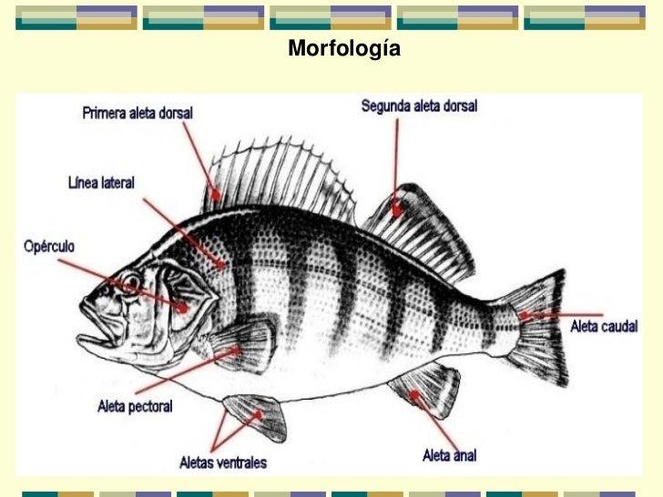 Generalidades y razas de peces