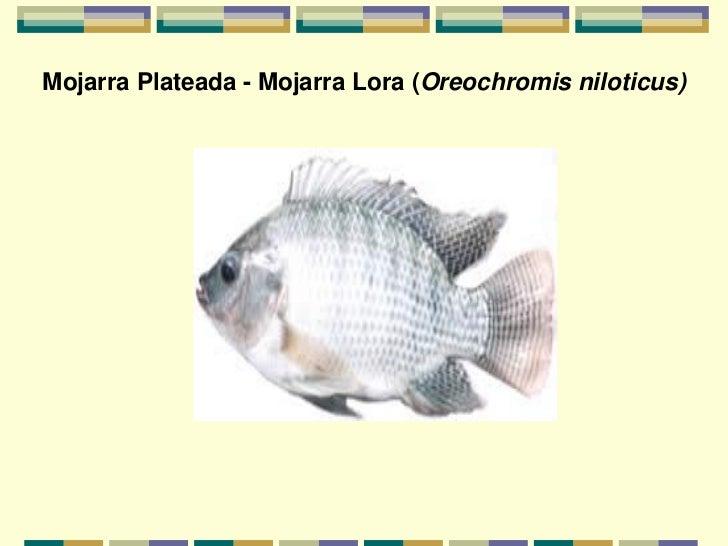 Generalidades y razas de peces for Pez cachama