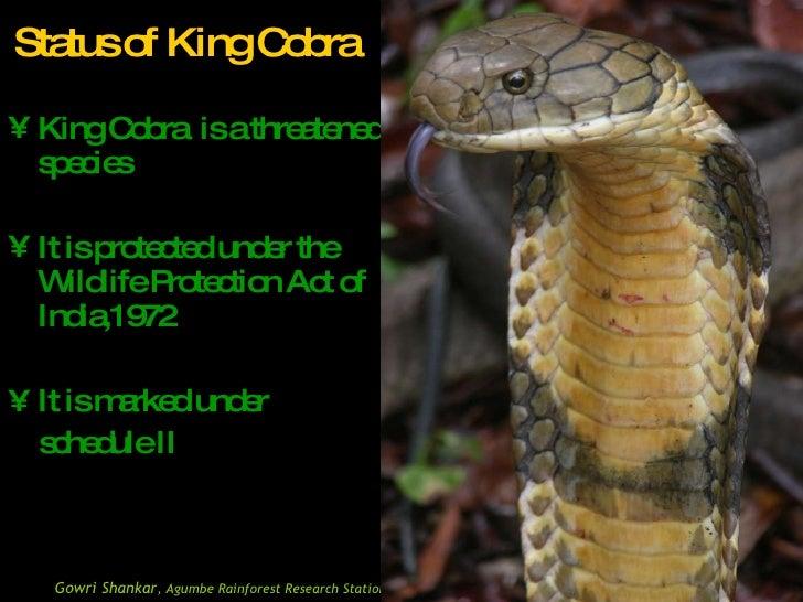 Presentation on King cobra