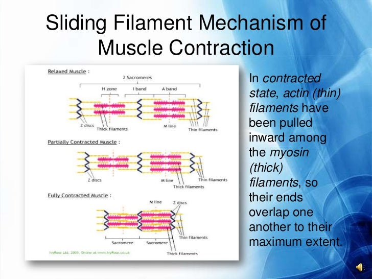 ... contraction to cease 10 molecularmechanism of muscle contraction
