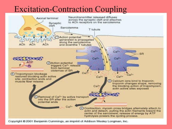 Excitation contraction coupling events skeletal muscle