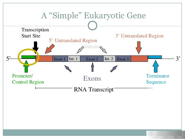 gene regulation in eukaryotes Chapter 11 transcription in eukaryotes example of this form of gene regulation (see fig 617) in this chapter regulatory region of a particular gene with another in multicellular eukaryotes, there will be variation in.