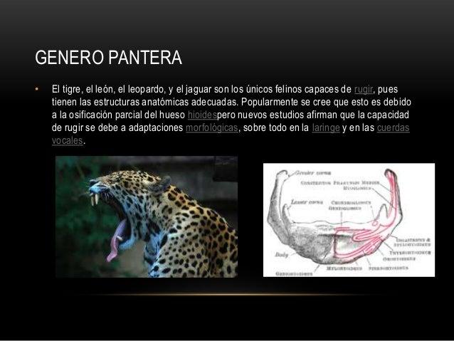 Genero panthera