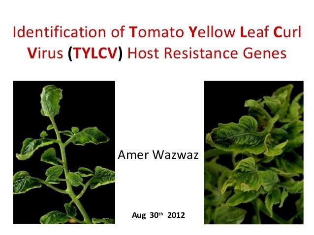 Identification of Tomato Yellow Leaf Curl Virus (TYLCV) Host Resistance Genes  Amer Wazwaz  Aug 30th 2012