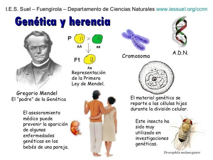 """I.E.S. Suel – Fuengirola – Departamento de Ciencias Naturales  www.iessuel.org/ccnn Genética y herencia El """"padre"""" de la G..."""