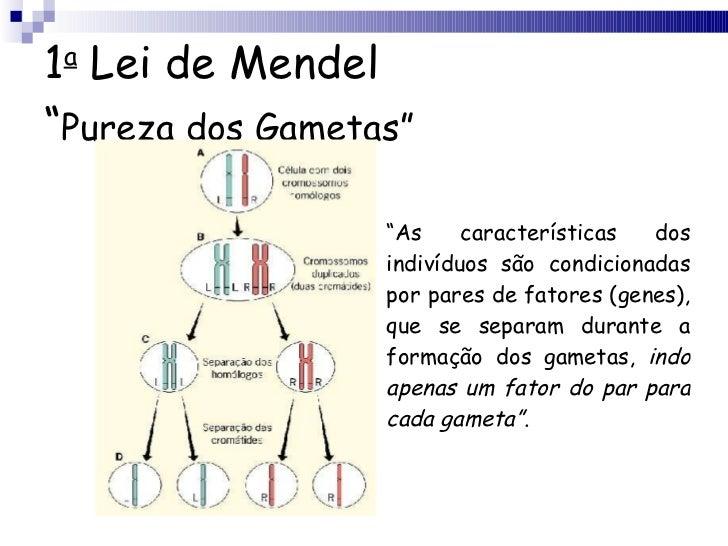 "1 a  Lei de Mendel "" Pureza dos Gametas"" <ul><li>"" As características dos indivíduos são condicionadas por pares de fatore..."