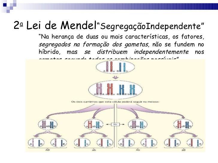 """2 a  Lei de Mendel """"SegregaçãoIndependente"""" <ul><li>"""" Na herança de duas ou mais características, os fatores,  segregados ..."""