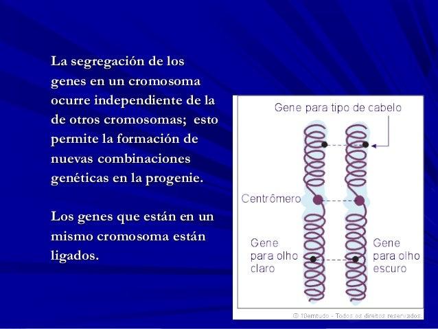 La segregación de losLa segregación de los genes en un cromosomagenes en un cromosoma ocurre independiente de laocurre ind...