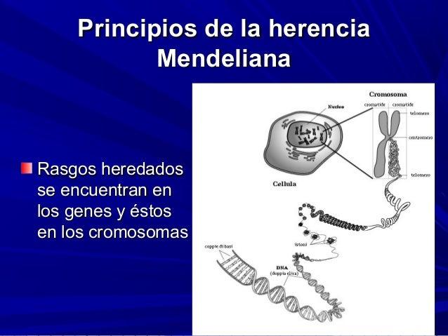 Principios de la herenciaPrincipios de la herencia MendelianaMendeliana Rasgos heredadosRasgos heredados se encuentran ens...