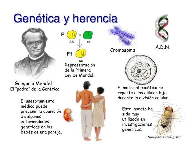 """Genética y herencia  Gregorio Mendel  Cromosoma  A.D.N.  El """"padre"""" de la Genética  Este insecto ha  sido muy  utilizado e..."""