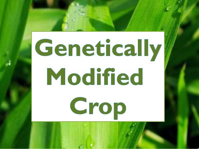 the dangers of genetically modified gmo crops Dangers and promises of genetically modified load through genetically engineering crops that aren´t killed by the permaculture research institute.