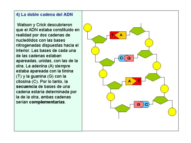 Genetica molecular 1 parte adn replicaci n for Que significa molecula