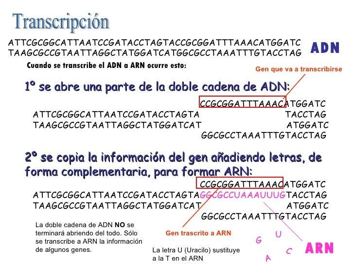 1º se abre una parte de la doble cadena de ADN: 2º se copia la información del gen añadiendo letras, de forma complementar...