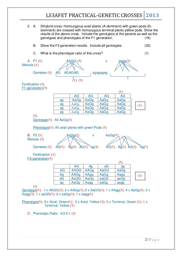 genetic crosses worksheet Termolak – Dihybrid Crosses Worksheet Answers