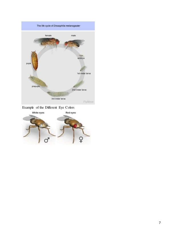 an experiment testing the different inheritance patterns in the drosophila fruit F1~15a in ui in a cross between a wild-type female fruit fly and a mutant white-eyed male what color eyes will the f, and f2 offspring have experiment.