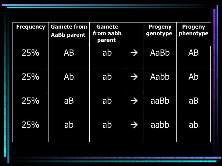 ab aabb  ab ab 25% aB aaBb  ab aB 25% Ab Aabb  ab Ab 25% AB AaBb  ab AB 25% Progeny phenotype  Progeny genotype  Gamet...