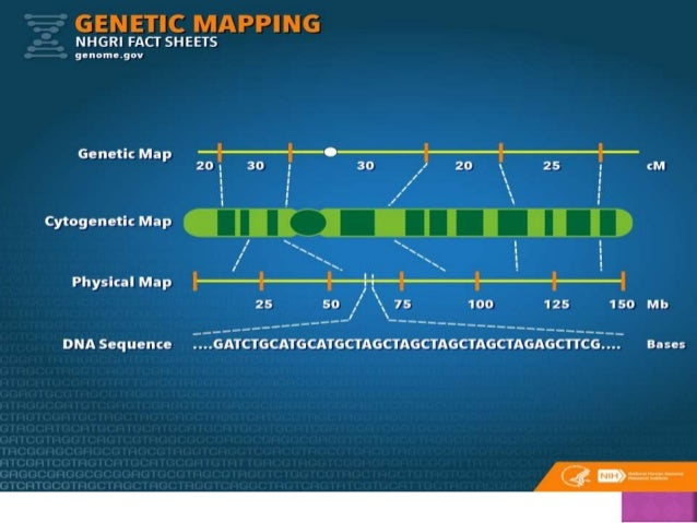 Genetic mapping on human genome, cognitive mapping, human genome project, restriction maps, thomas morgan's linkage mapping, gene map, molecular genetics, quantitative trait locus, three-point cross, community mapping, dna mapping, mental mapping, mendelian inheritance, snp genotyping, genome-wide association study, association mapping, genetic marker,
