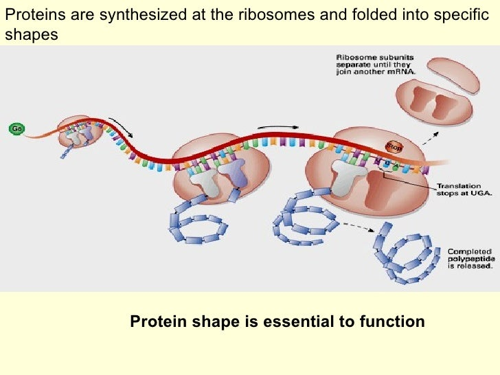 Proteins are synthesized at the ribosomes and folded into specific shapes Protein shape is essential to function