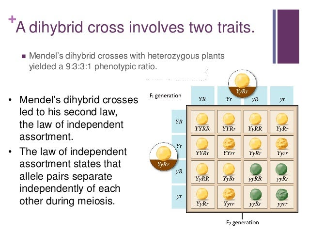 Homework help genetics two trait crosses