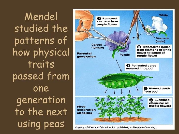 Genetics And Mendel 1201627175681907 2