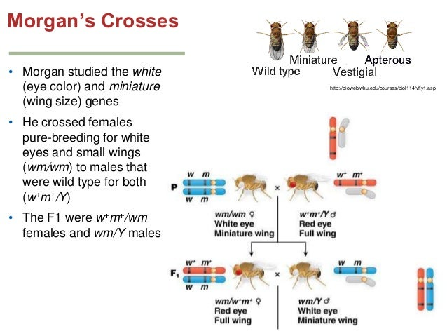 vestigial drosophila crossed with white eyes When white-eyed males are crossed with red-eyed females, all the f 1 progeny have red eyes, showing that the allele for white is recessive crossing the red-eyed f 1 males and females produces a 3:1 f 2 ratio of red-eyed to white-eyed flies, but all the white-eyed flies are males.