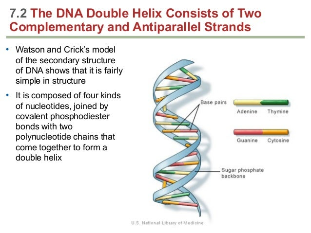 biology review essay example of dna Free practice questions for ap biology - understanding dna replication given a small sample of dna, the process replicates the sample to make numerous identical.