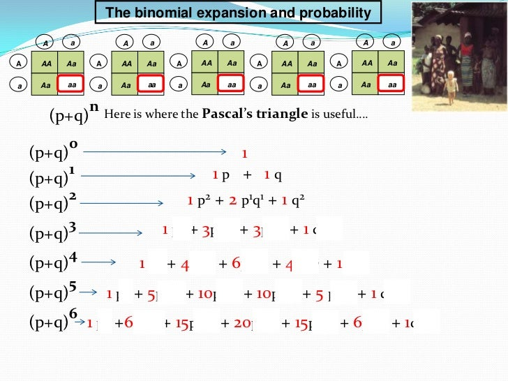 The binomial expansion and probability     A      a           A     a            A     a        A     a        A    aA    ...