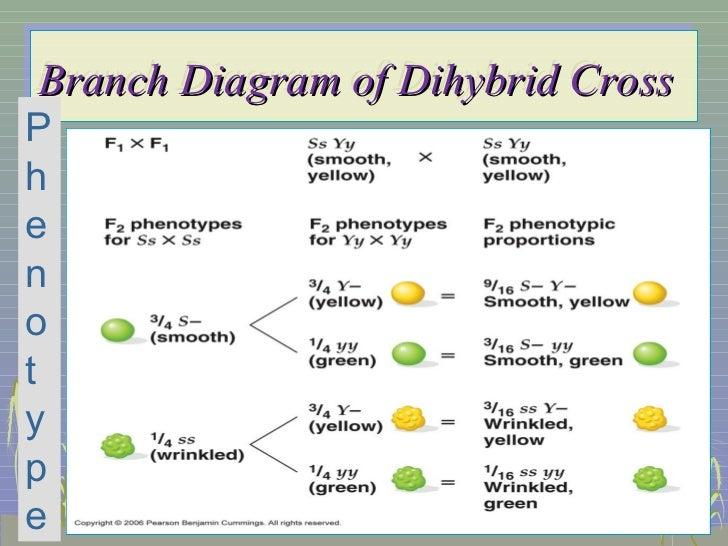 trihybrid cross