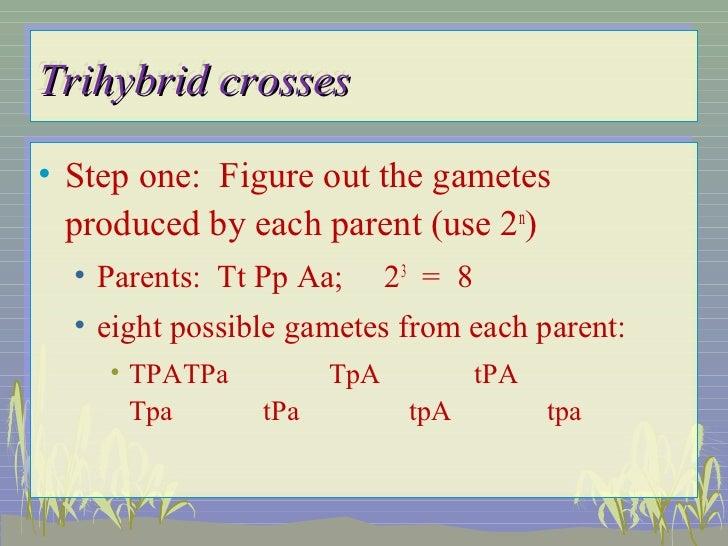 Dihybrid Punnett Square Worksheet With Answers  Fioradesignstudio