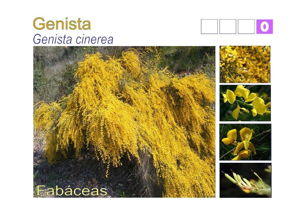 Conocida con nombres populares cómo Hiniesta es unaplanta perteneciente a la familia de las Leguminosas.Porte● arbusto muy...